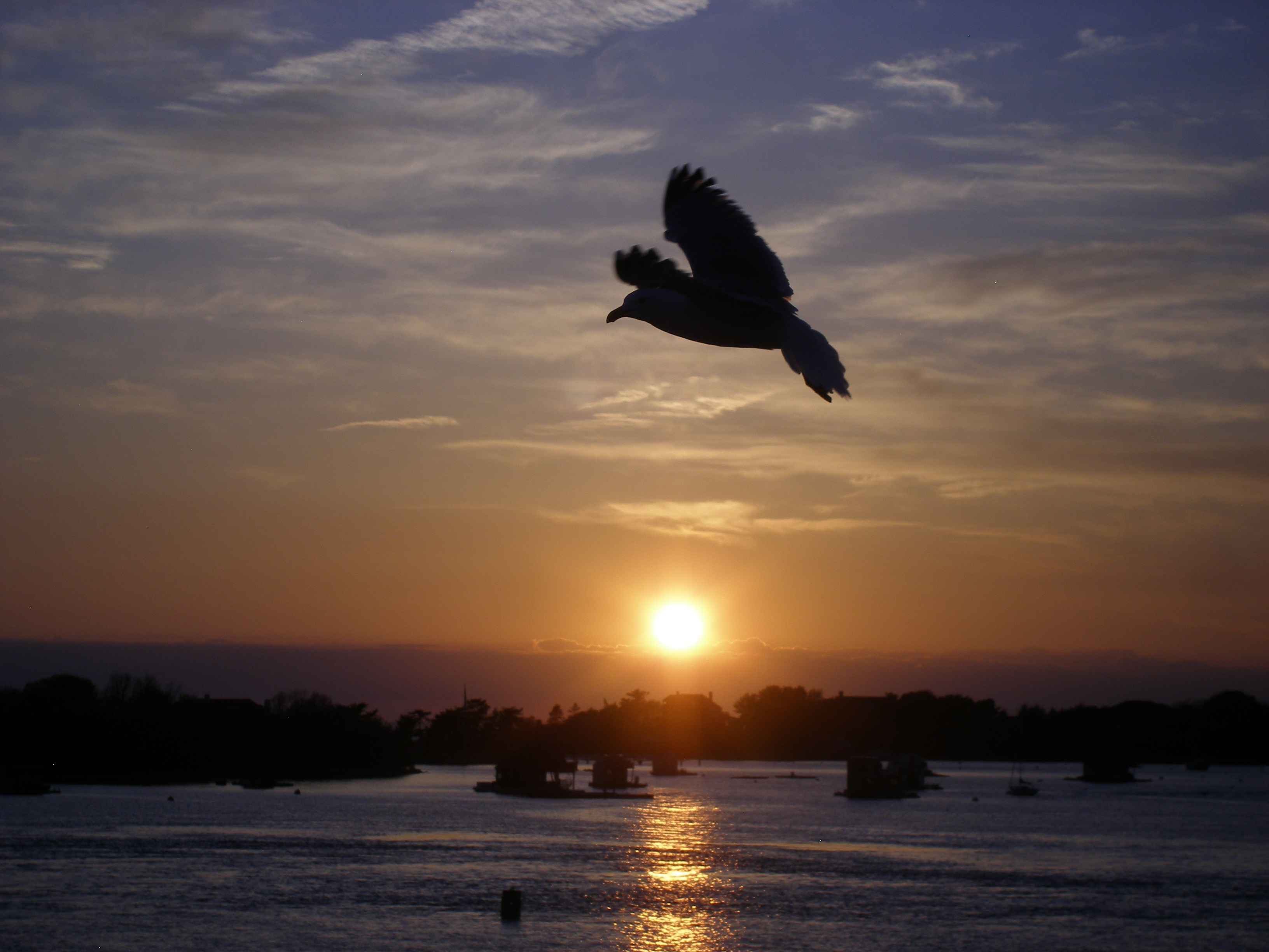 Woods Hole Bird in flight.JPG