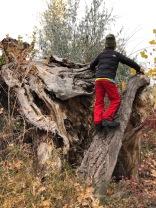 Scaling fallen trees
